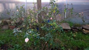 Roses in danger of wind rock