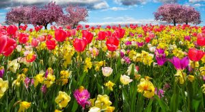 A tulip and daffodil meadow