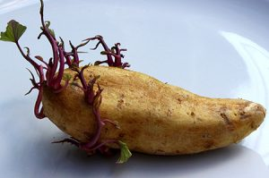A chitted seed potato